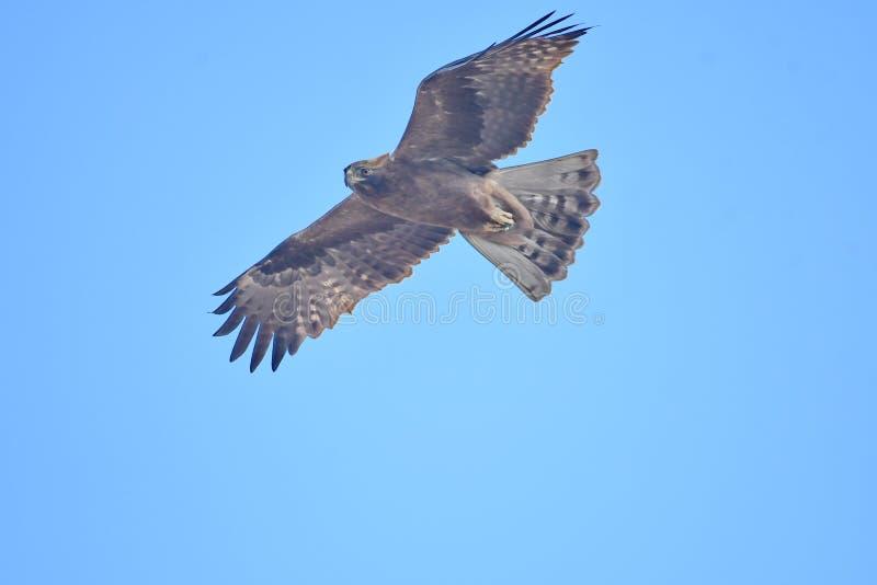 Booted pennatus Hieraaetus орла стоковые изображения rf