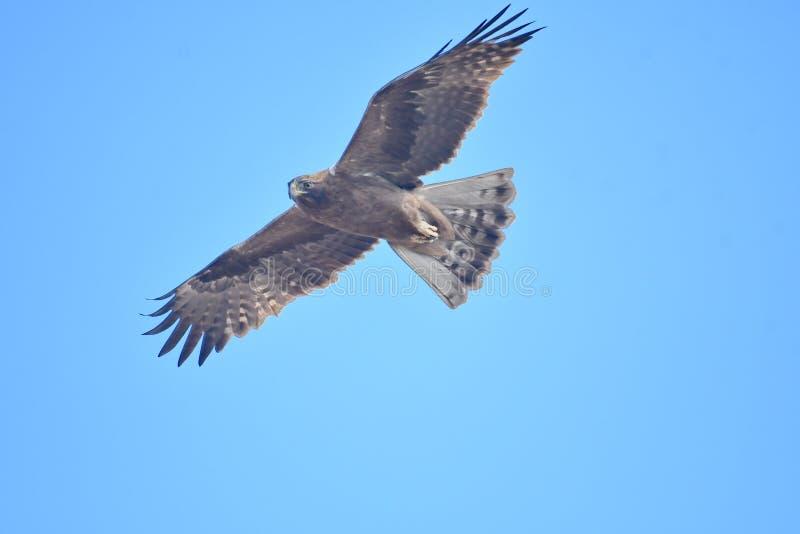 Booted pennatus Hieraaetus орла стоковая фотография rf