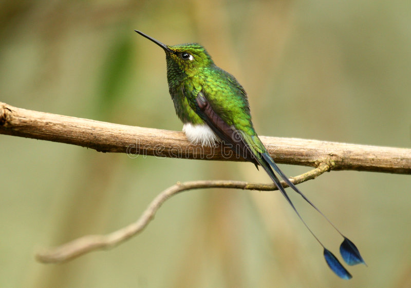 Booted Racket-Tail royalty free stock photography