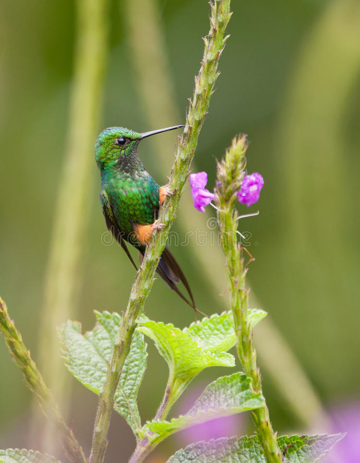 A Booted Racket-Tail Hummingbird stock photos