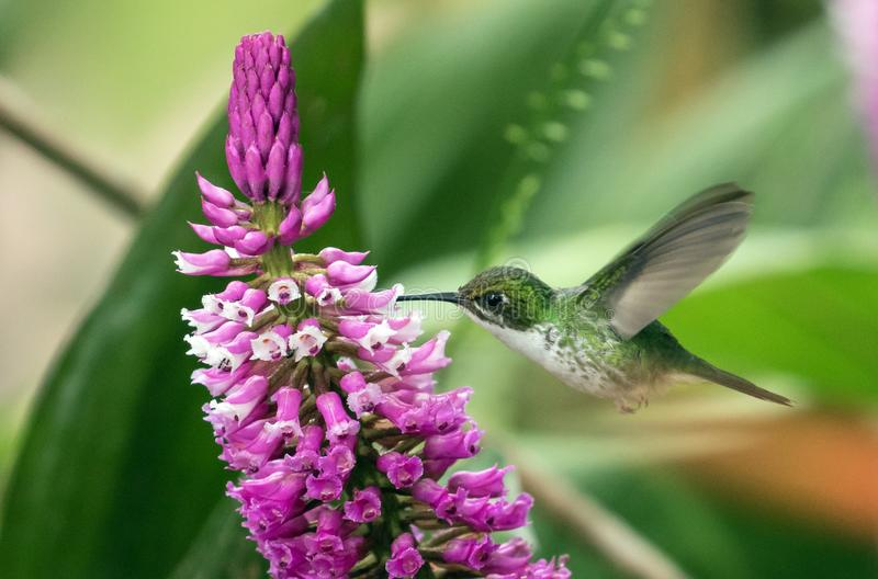 Booted Racket-tail  hummingbird feeding on orchid stock images