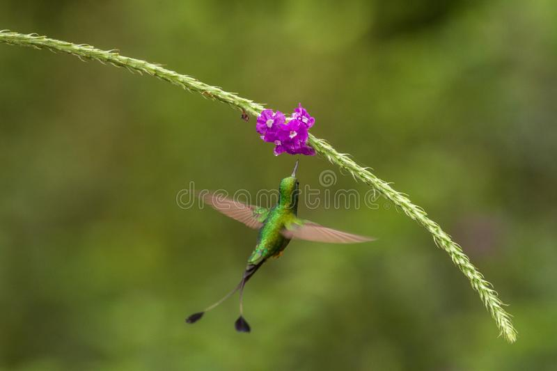 Booted Racket-tail, Ocreatus underwoodi hovering next to violet flower, bird from tropical forest, Manu national park, Peru. Hummingbird perching on flower stock photos