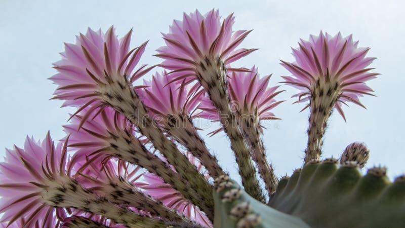 Boquet del cactus di barilotto fiorisce nel primo mattino in riva del fiume la California fotografia stock libera da diritti