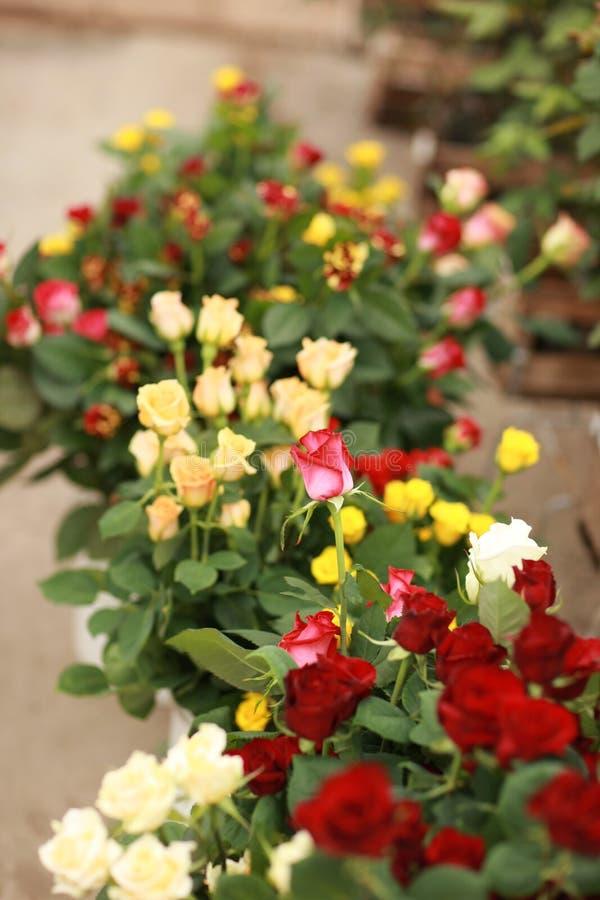 Boquet der Rosen lizenzfreies stockfoto