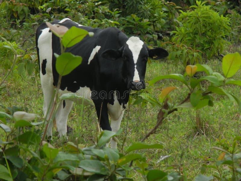 BOQUETE krowa obraz stock