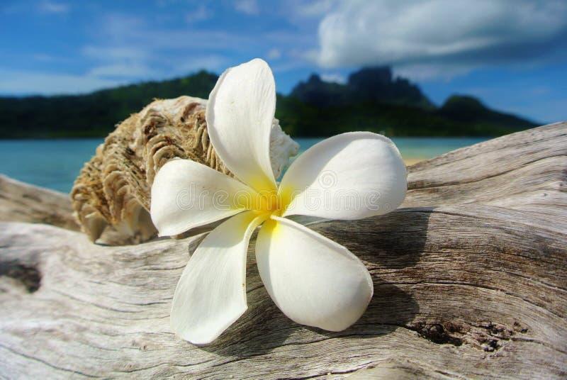 Bora Bora, plumeria branco e concha do mar na madeira lançada à costa fotografia de stock royalty free