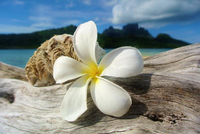Bora Bora, white plumeria and seashell on driftwood. Bora Bora, white plumeria flower and seashell on driftwood with Mount Otemanu in background royalty free stock photography