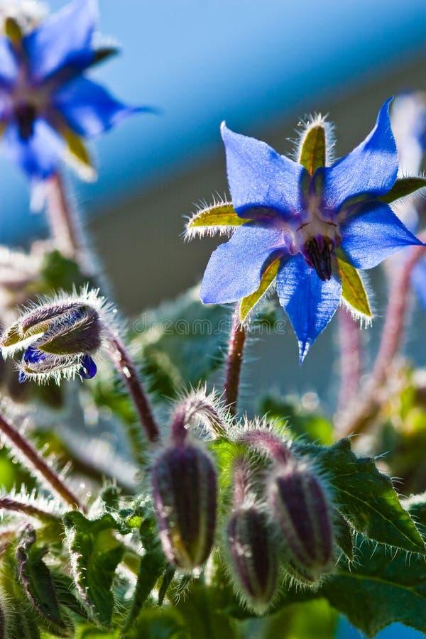 Borage azul, flor da estrela fotos de stock royalty free