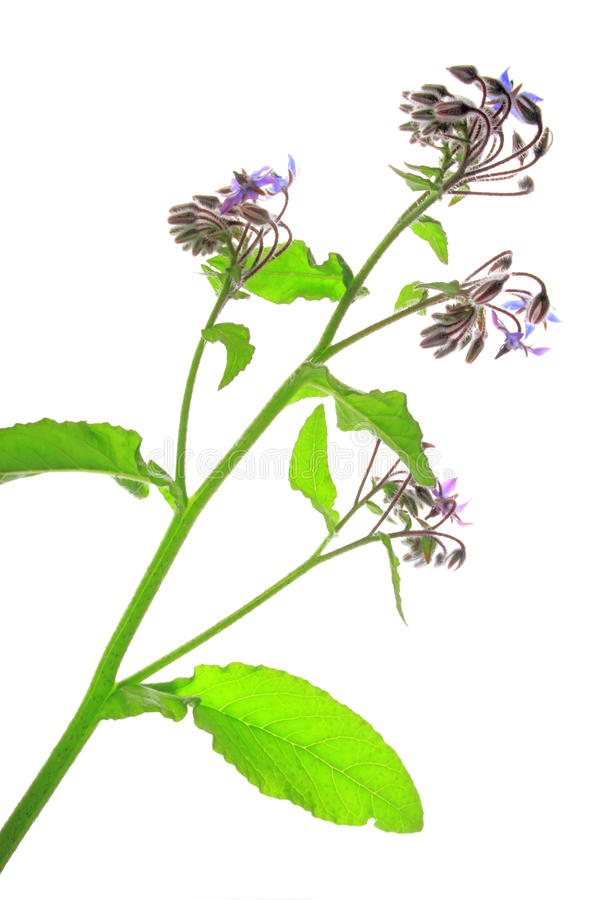 Borage (Borago-officinalis) stock foto's