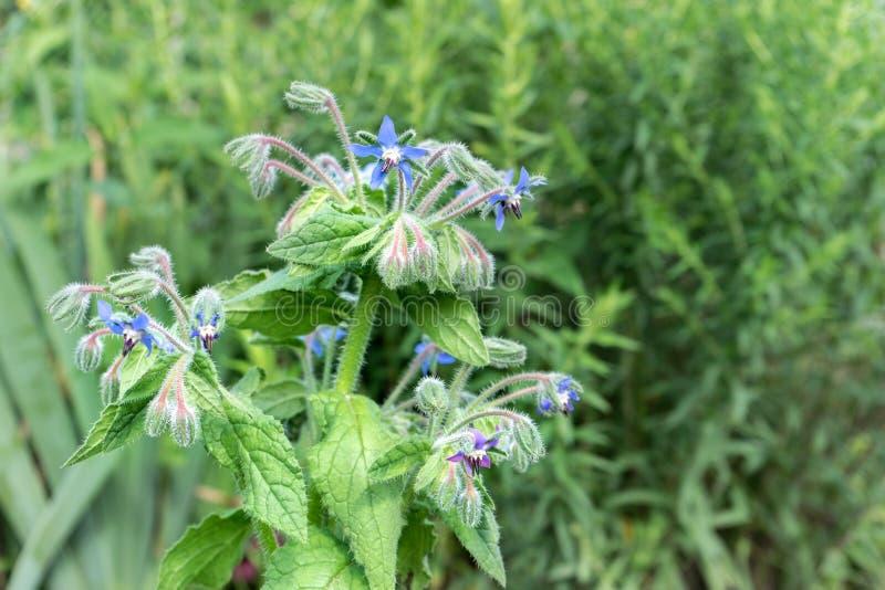 Borage com flores azuis imagem de stock royalty free