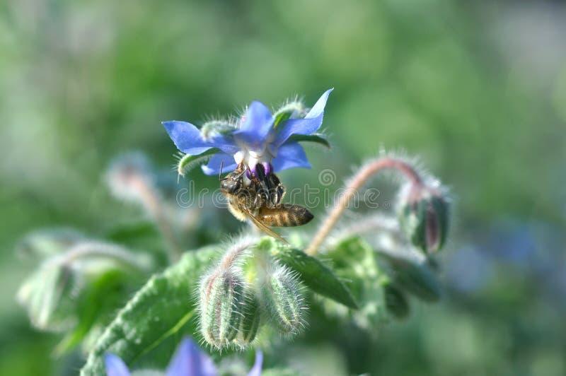 Borage Flower with Honeybee. A honeybee feeding on the nectar of a Borage flower, Borago officinalis stock image