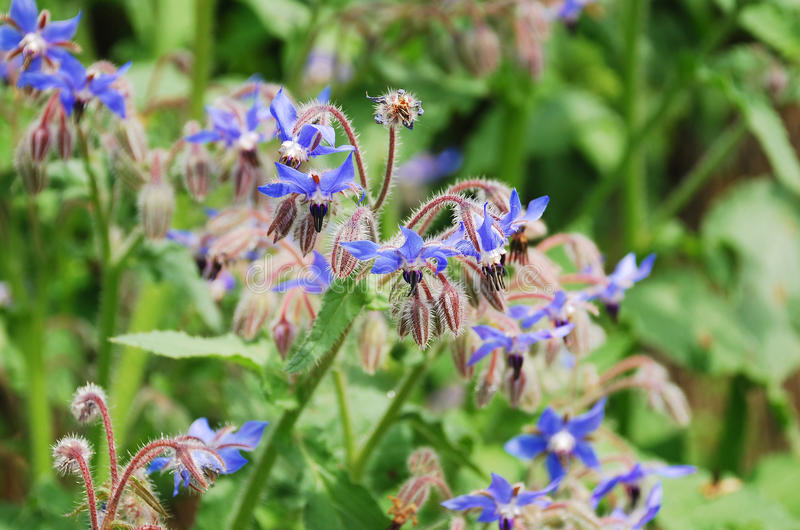 Download Borage Flowers stock image. Image of petals, herbs, cultivation - 22947219