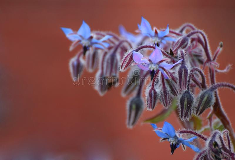 Borage flowers / blue star flowers. Borage flowers or starflowers the seeds of which provide a medicinal herbal oil with properties similar to oil of evening stock images
