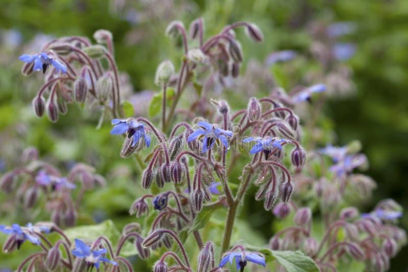 Boragebloemen (Borago-officinalis) royalty-vrije stock foto