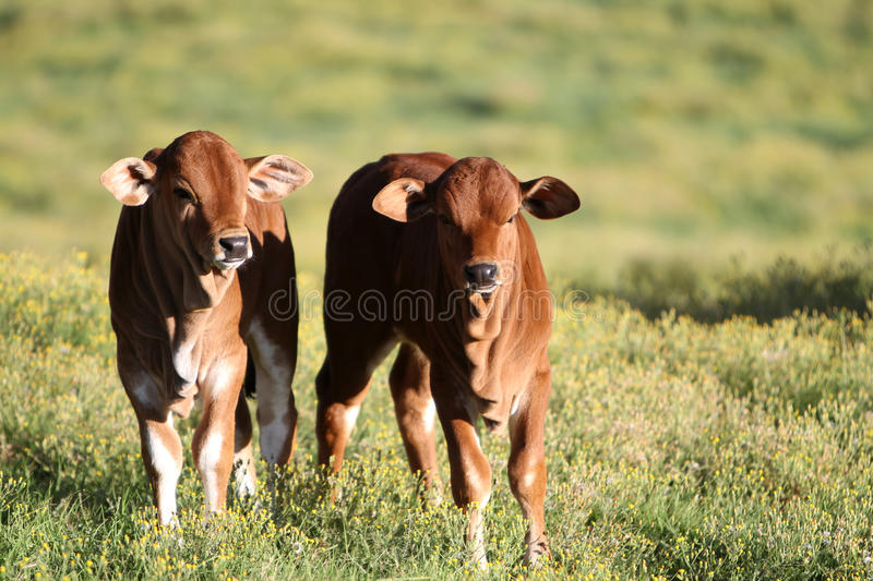 Boran beef cattle calves. Two young Boran beef cattle calves standing next to each other basking in the African spring sun. The camp is filled with yellow spring royalty free stock photo