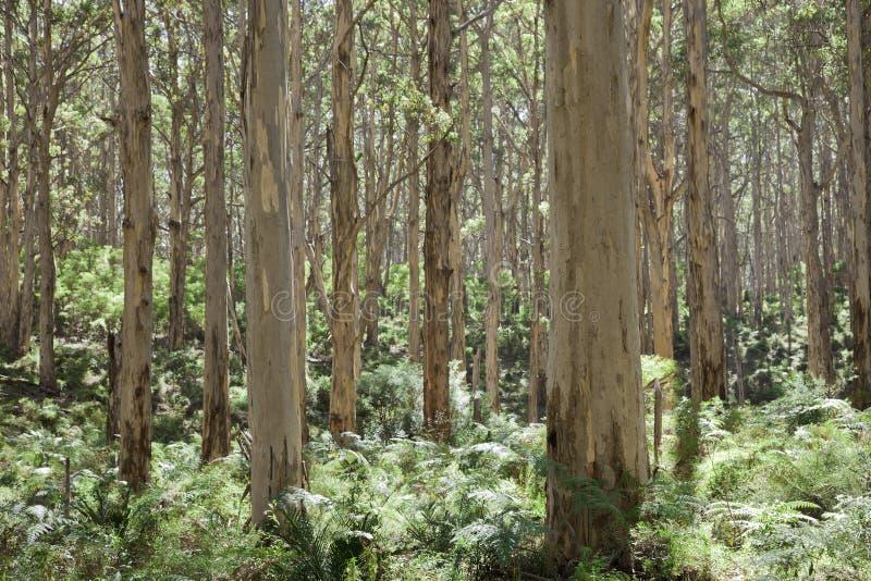 Boranup Forrest Trees arkivbild