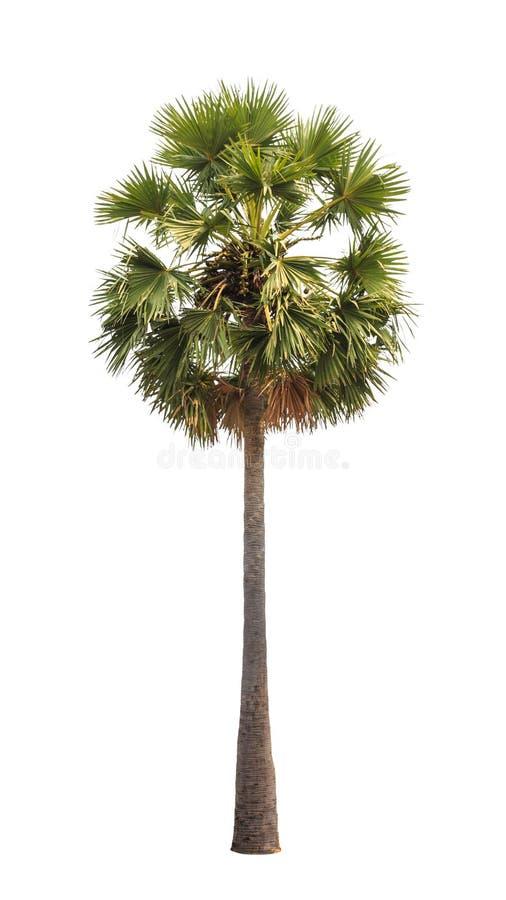 Borassus flabellifer (桄榔树) 库存照片