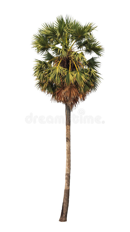 Borassus flabellifer,在白色背景隔绝的热带棕榈树 免版税库存图片