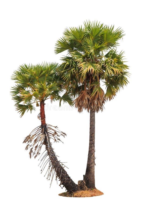 Borassus flabellifer,在白色背景隔绝的热带棕榈树 免版税图库摄影