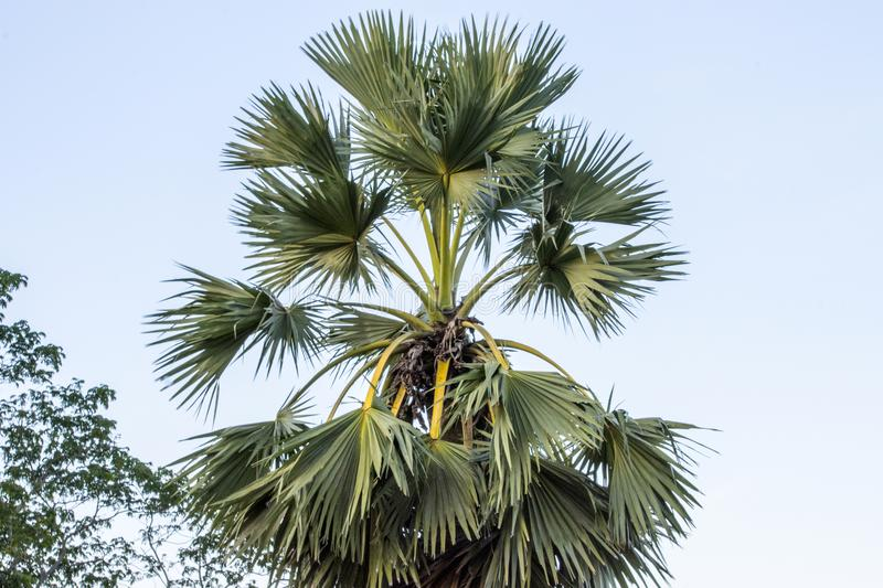 This is a Plam tree. royalty free stock photography