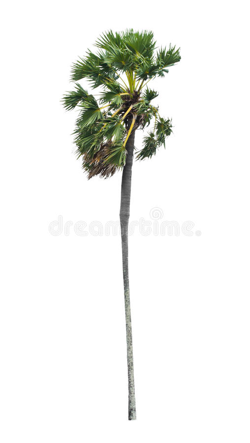 Download Borassus Flabellifer, Known By Several Common Names, Including A Stock Photo - Image: 31299370
