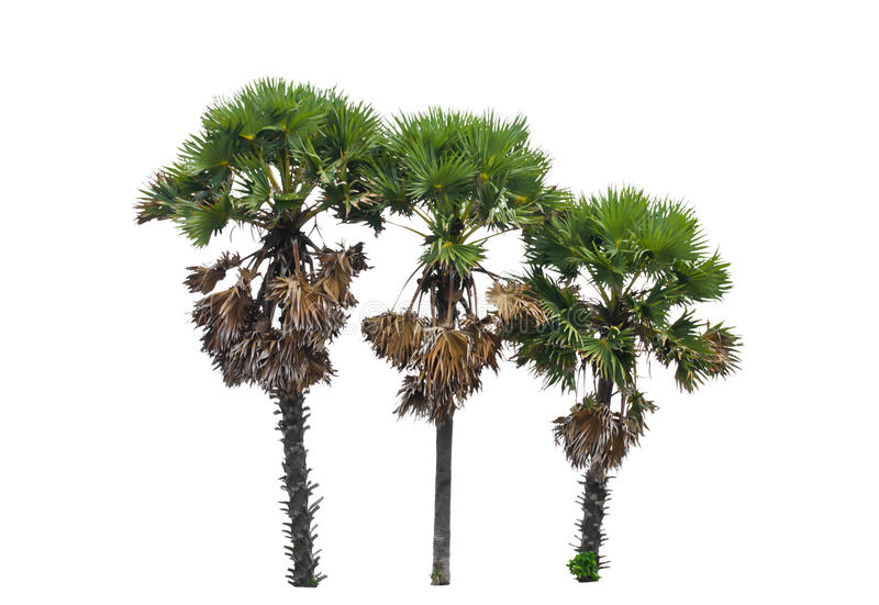 Download Borassus Flabellifer, Known By Several Common Names, Including A Stock Photo - Image: 31299382