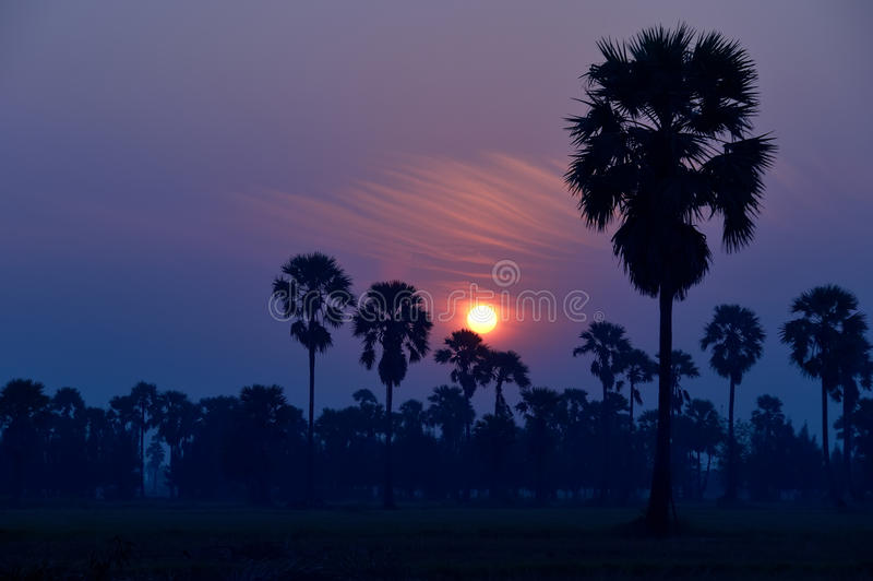 Borassus palma obraz royalty free