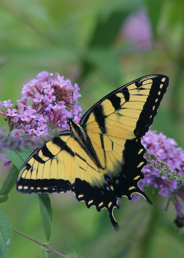Download Borboleta 4 imagem de stock. Imagem de asas, inseto, swallowtail - 113833