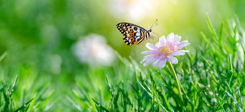 A borboleta alaranjada amarela está nas flores cor-de-rosa brancas nos campos de grama verde fotografia de stock