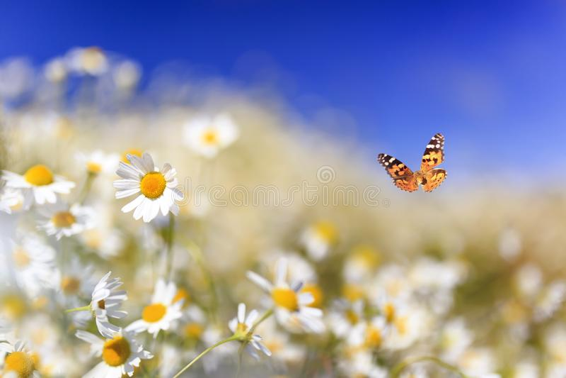 A borboleta alaranjada brilhante vibra sobre as flores bonitas brancas da camomila em um prado rural do verão ensolarado em um di fotos de stock royalty free