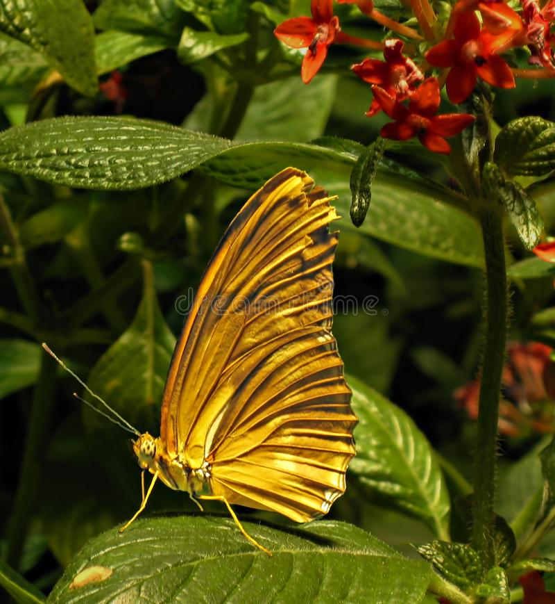Borboleta alaranjada com asas fechados em uma grande folha verde fotos de stock