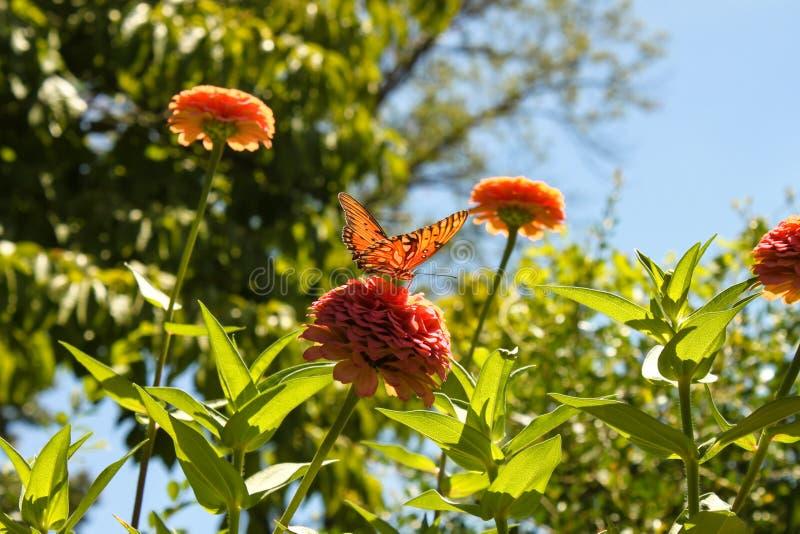 Borboleta alaranjada com o sol que shinning através de suas asas na flor cor-de-rosa do zinnia no jardim - fundo borrado - focu r imagem de stock royalty free