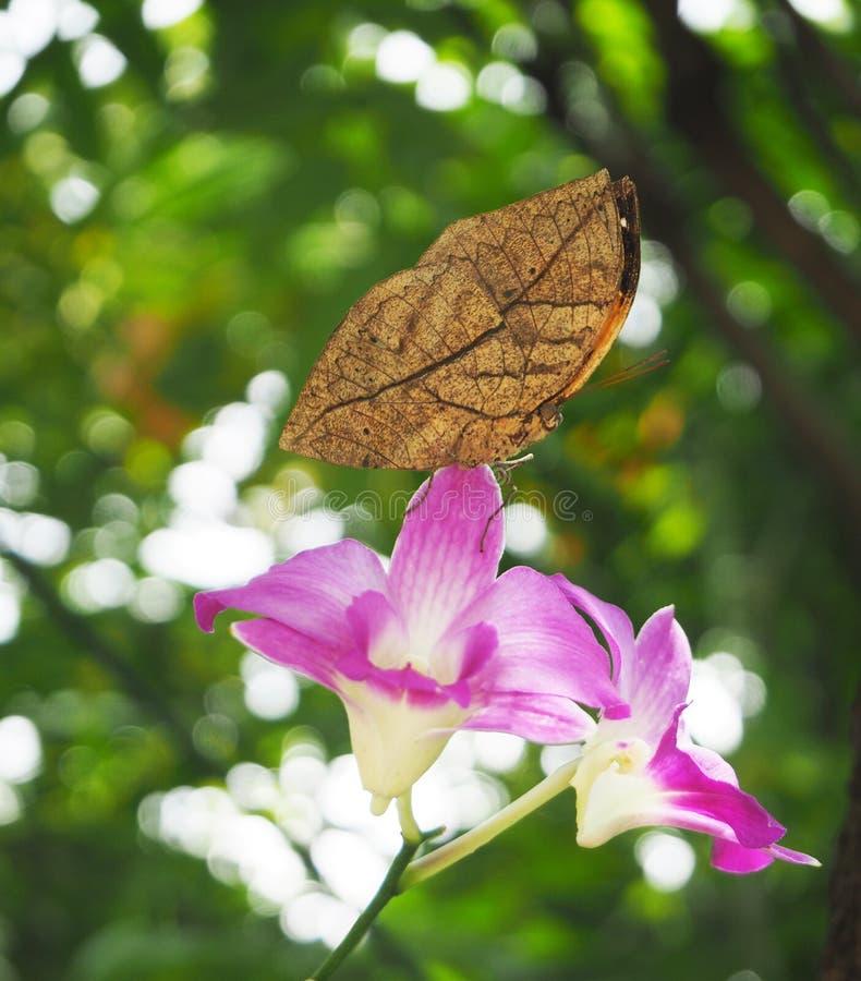 Borboleta alaranjada do oakleaf na orquídea cor-de-rosa foto de stock