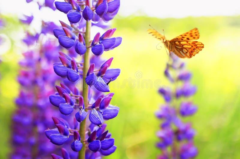 A borboleta alaranjada manchada bonita da pérola voa no jardim do verão ao lado do lilás brilhante e das flores lupine azuis em u fotos de stock