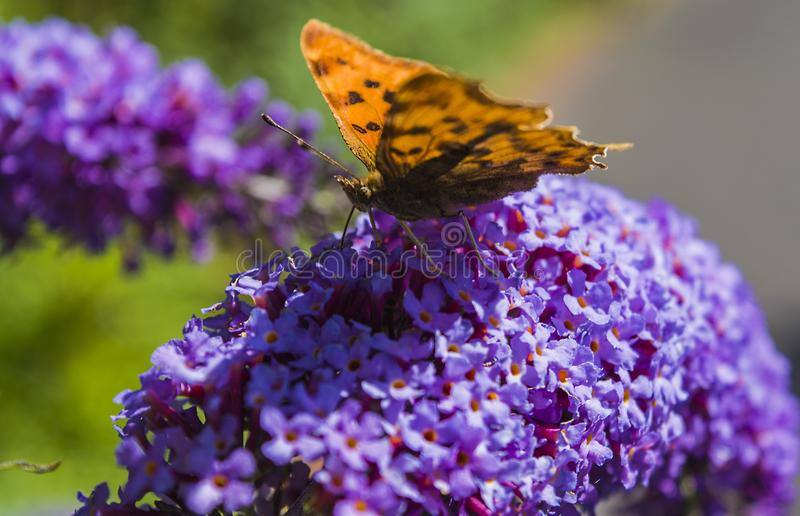 Borboleta alaranjada na flor dos lilás fotos de stock royalty free