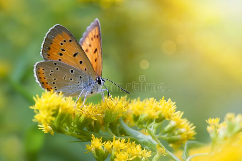 Borboleta alaranjada que senta-se em flores amarelas foto de stock