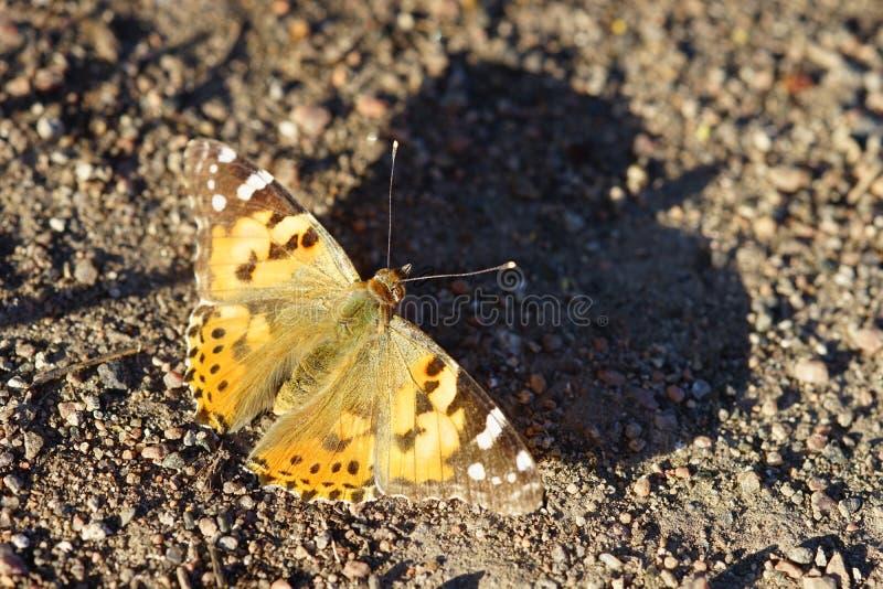 A borboleta alaranjada senta-se na estrada que molda a sombra das asas fotografia de stock royalty free