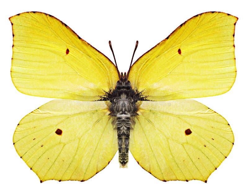 Borboleta amarela imagens de stock royalty free