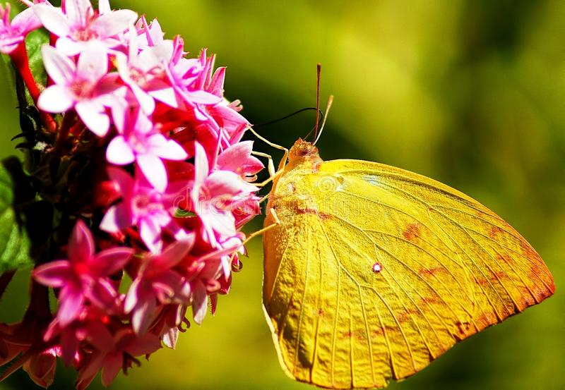 Borboleta amarela bonita na flor cor-de-rosa foto de stock