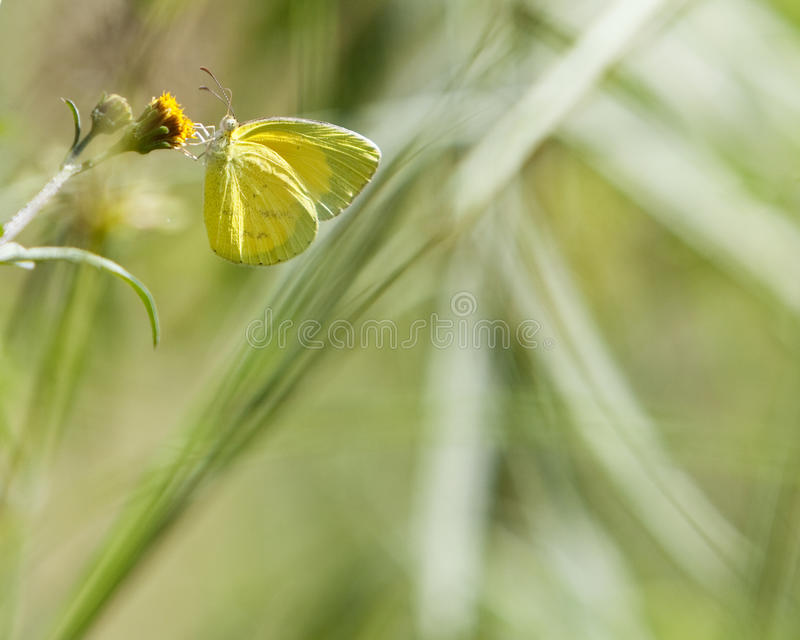 Borboleta amarela na flor fotos de stock royalty free