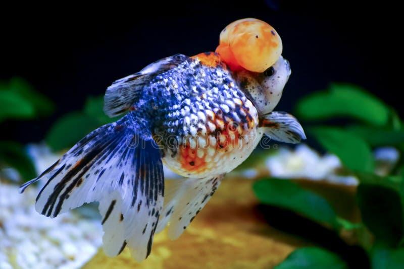 A borboleta amarra o peixe dourado imagens de stock