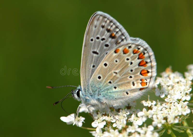 Borboleta ao ar livre (polyommatus Icaro) fotografia de stock