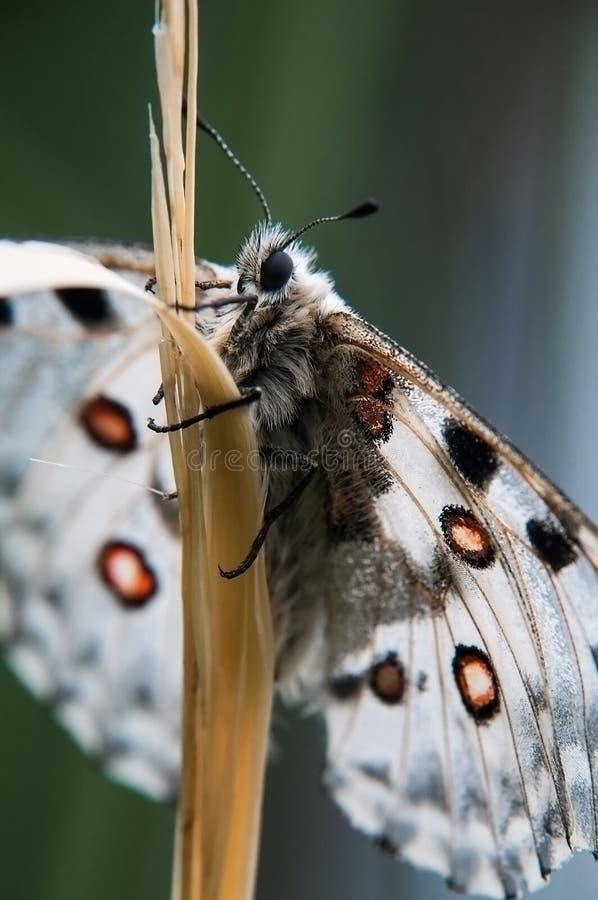 A borboleta Apollo em uma grama Instantâneo macro imagem de stock