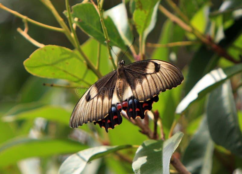 Borboleta australiana de Swallowtail do pomar em repouso imagem de stock royalty free