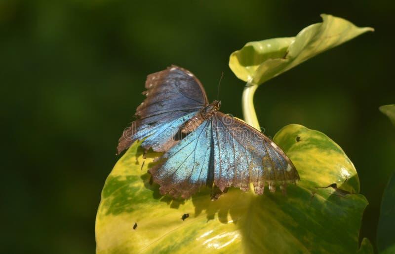 A borboleta azul ótimo de Morpho com as grandes asas de vista abre imagens de stock royalty free