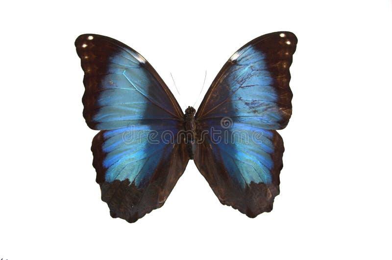 A borboleta azul fotografia de stock