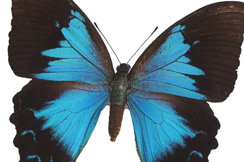 A borboleta azul 11 imagens de stock royalty free