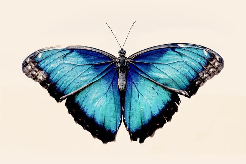 Borboleta azul bonita fotos de stock