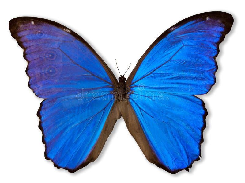 Borboleta azul (com trajeto) imagem de stock