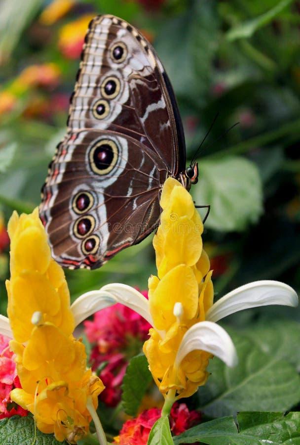 Borboleta azul comum do morpho na planta do pirulito ou na vela dourada imagem de stock